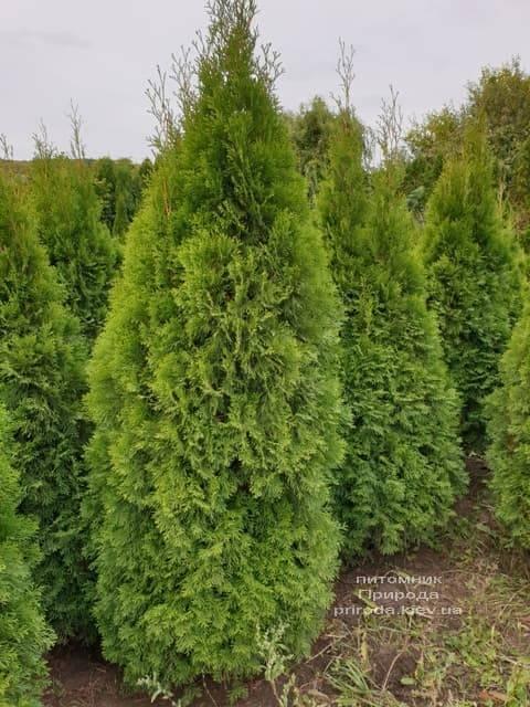 Туя западная Смарагд (Thuja occidentalis Smaragd) ФОТО Питомник растений Природа (83)