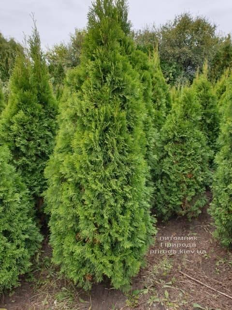 Туя западная Смарагд (Thuja occidentalis Smaragd) ФОТО Питомник растений Природа (84)