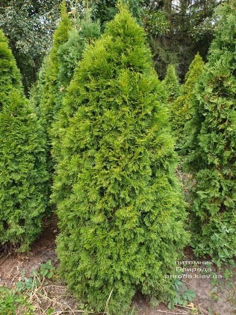 Туя западная Смарагд (Thuja occidentalis Smaragd) ФОТО Питомник растений Природа (85)