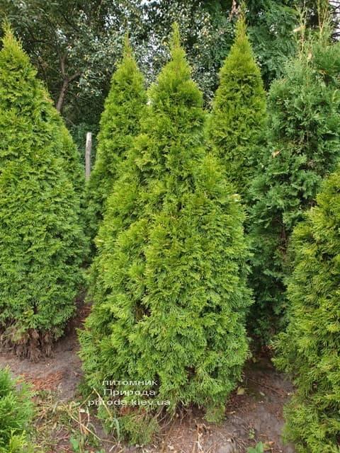 Туя западная Смарагд (Thuja occidentalis Smaragd) ФОТО Питомник растений Природа (86)