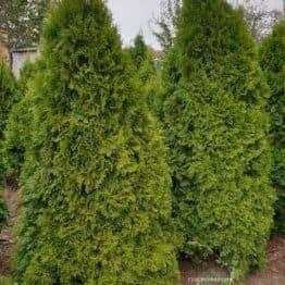 Туя западная Смарагд (Thuja occidentalis Smaragd) ФОТО Питомник растений Природа (88)