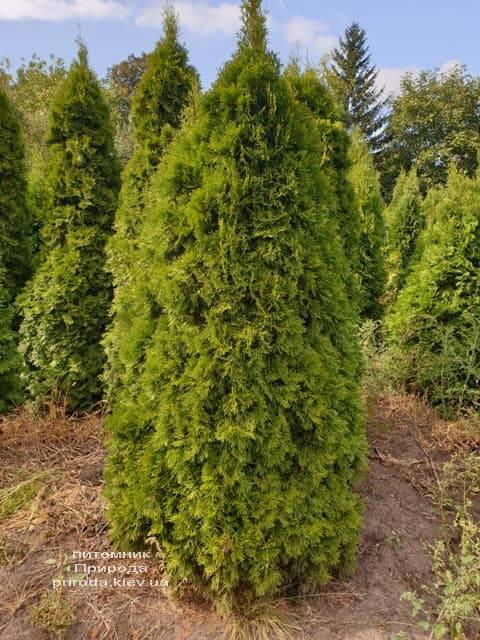 Туя западная Смарагд (Thuja occidentalis Smaragd) ФОТО Питомник растений Природа (89)