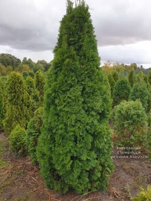 Туя західна Смарагд (Thuja occidentalis Smaragd) ФОТО Розплідник рослин Природа (90)