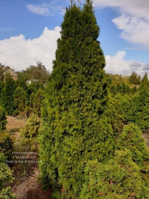 Туя західна Смарагд (Thuja occidentalis Smaragd) ФОТО Розплідник рослин Природа (91)