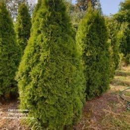 Туя западная Смарагд (Thuja occidentalis Smaragd) ФОТО Питомник растений Природа (92)