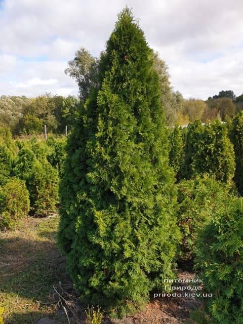 Туя західна Смарагд (Thuja occidentalis Smaragd) ФОТО Розплідник рослин Природа (93)