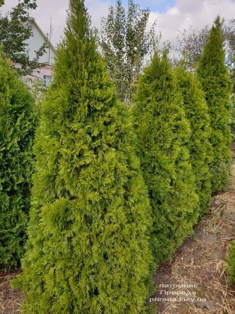 Туя західна Смарагд (Thuja occidentalis Smaragd) ФОТО Розплідник рослин Природа (94)