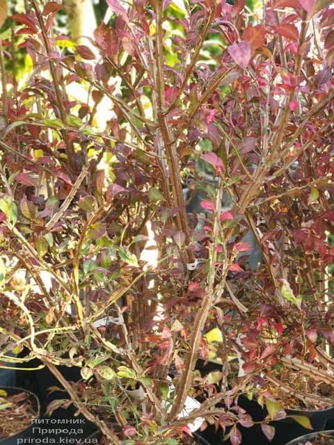 Бересклет крылатый (Euonymus alatus) ФОТО Питомник растений Природа (3)
