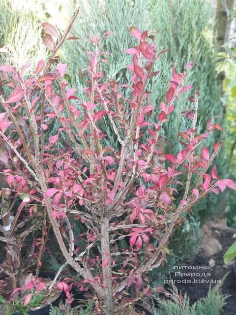 Бересклет крылатый (Euonymus alatus) ФОТО Питомник растений Природа (4)