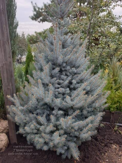 Ель голубая Блю Диамонд (Picea pungens Blue Diamond) ФОТО Питомник растений Природа (15)