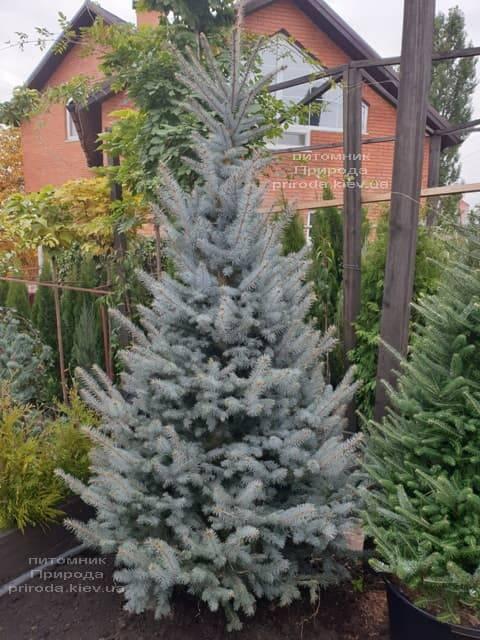Ель голубая Блю Диамонд (Picea pungens Blue Diamond) ФОТО Питомник растений Природа (16)
