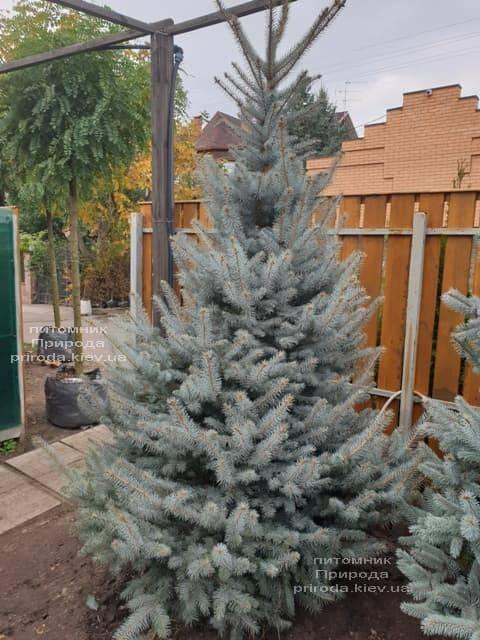 Ель голубая Блю Диамонд (Picea pungens Blue Diamond) ФОТО Питомник растений Природа (17)