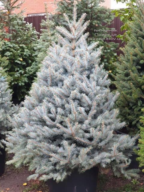 Ель голубая Блю Диамонд (Picea pungens Blue Diamond) ФОТО Питомник растений Природа (18)