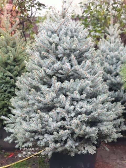Ель голубая Блю Диамонд (Picea pungens Blue Diamond) ФОТО Питомник растений Природа (19)
