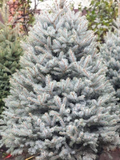 Ель голубая Блю Диамонд (Picea pungens Blue Diamond) ФОТО Питомник растений Природа (20)