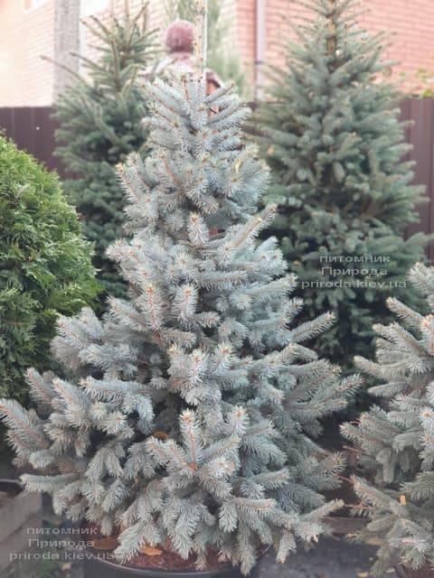Ель голубая Хупси (Picea pungens Hoopsi) ФОТО Питомник растений Природа (10)