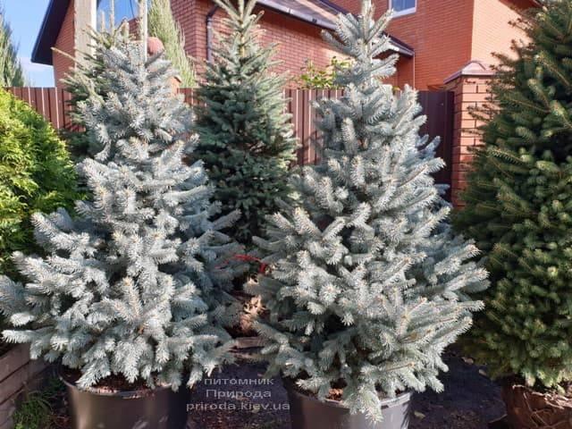 Ель голубая Хупси (Picea pungens Hoopsi) ФОТО Питомник растений Природа (11)