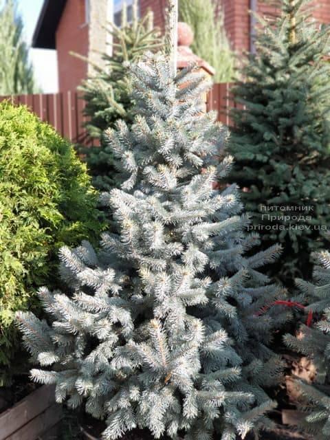 Ель голубая Хупси (Picea pungens Hoopsi) ФОТО Питомник растений Природа (12)