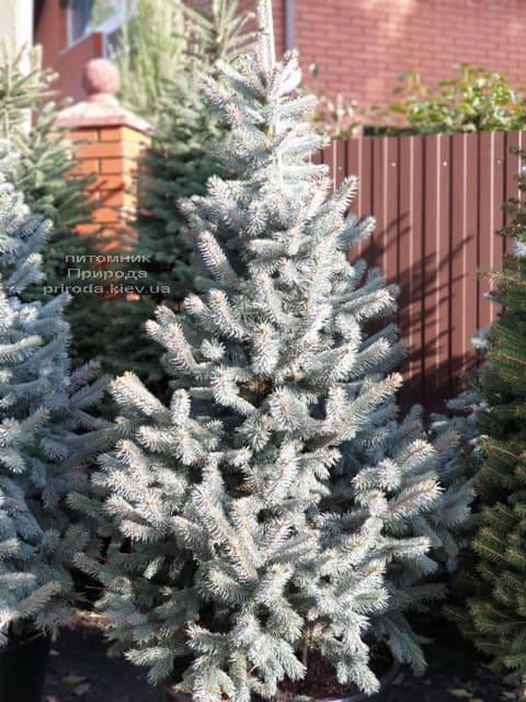 Ель голубая Хупси (Picea pungens Hoopsi) ФОТО Питомник растений Природа (13)