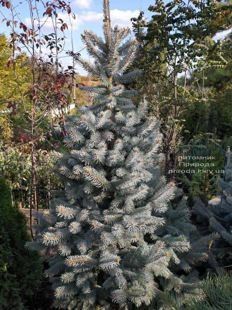 Ель голубая Хупси (Picea pungens Hoopsi) ФОТО Питомник растений Природа (14)
