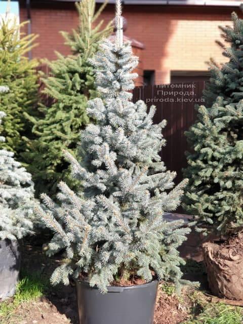 Ель голубая Хупси (Picea pungens Hoopsi) ФОТО Питомник растений Природа (15)