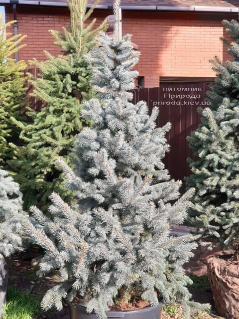 Ель голубая Хупси (Picea pungens Hoopsi) ФОТО Питомник растений Природа (16)