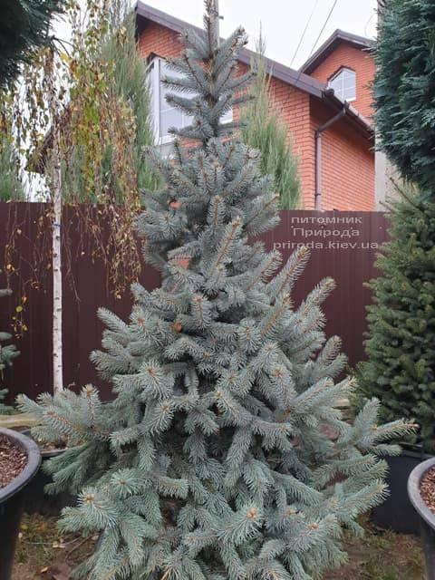 Ель голубая Хупси (Picea pungens Hoopsi) ФОТО Питомник растений Природа (17)