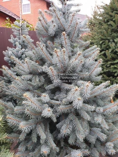 Ель голубая Хупси (Picea pungens Hoopsi) ФОТО Питомник растений Природа (18)
