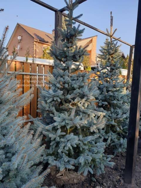 Ель голубая Хупси (Picea pungens Hoopsi) ФОТО Питомник растений Природа (7)