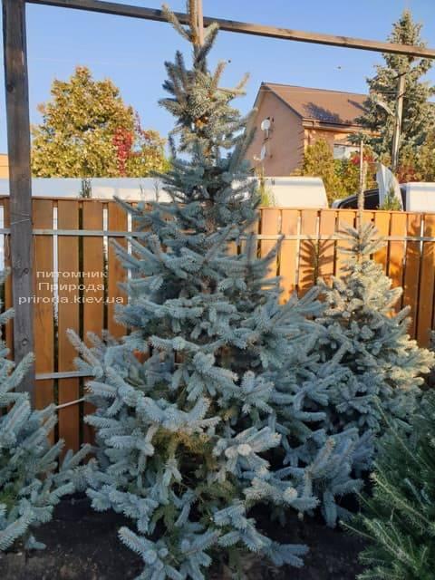 Ель голубая Хупси (Picea pungens Hoopsi) ФОТО Питомник растений Природа (8)
