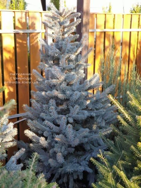 Ель голубая Хупси (Picea pungens Hoopsi) ФОТО Питомник растений Природа (9)