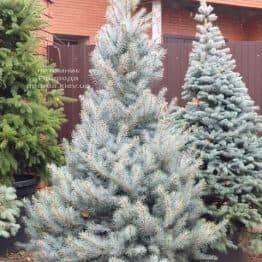 Ель голубая Эдит (Picea pungens Edith) ФОТО Питомник растений Природа (30)
