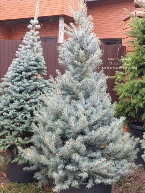 Ель голубая Эдит (Picea pungens Edith) ФОТО Питомник растений Природа (31)