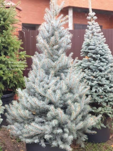 Ель голубая Эдит (Picea pungens Edith) ФОТО Питомник растений Природа (32)