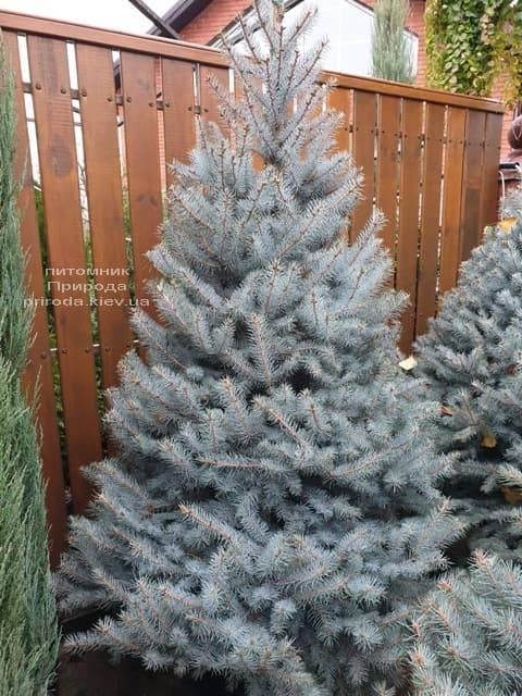 Ель голубая Эдит (Picea pungens Edith) ФОТО Питомник растений Природа (33)