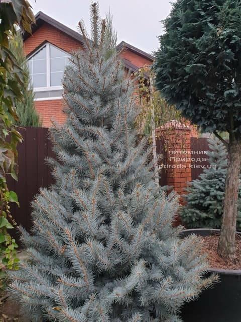 Ель голубая Эдит (Picea pungens Edith) ФОТО Питомник растений Природа (34)