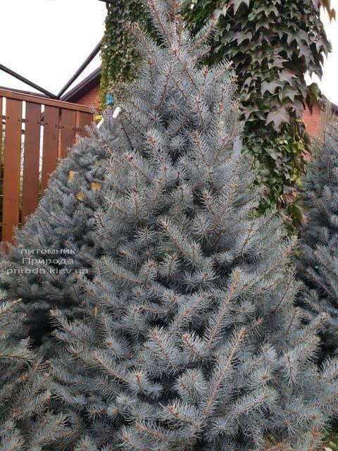 Ель голубая Эдит (Picea pungens Edith) ФОТО Питомник растений Природа (35)