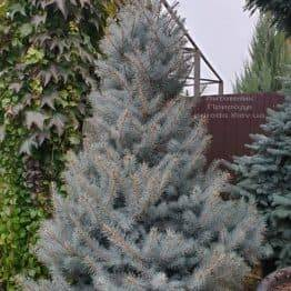Ялина блакитна Едіт (Picea pungens Edith) ФОТО Розплідник рослин Природа (36)