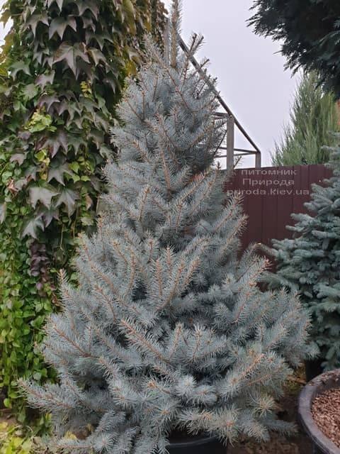 Ель голубая Эдит (Picea pungens Edith) ФОТО Питомник растений Природа (36)