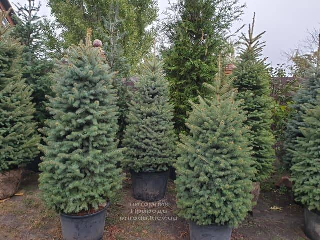 Ель колючая Глаука (Picea pungens Glauca) ФОТО Питомник растений Природа (18)