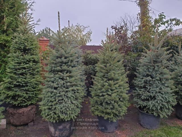 Ель колючая Глаука (Picea pungens Glauca) ФОТО Питомник растений Природа (19)