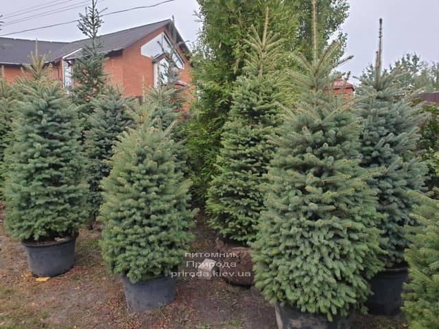 Ель колючая Глаука (Picea pungens Glauca) ФОТО Питомник растений Природа (20)