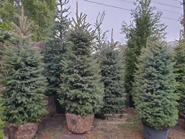 Ель колючая Глаука (Picea pungens Glauca) ФОТО Питомник растений Природа (21)