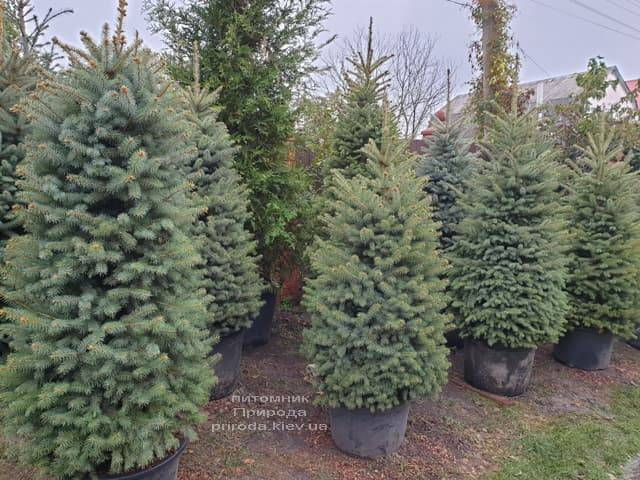 Ель колючая Глаука (Picea pungens Glauca) ФОТО Питомник растений Природа (23)