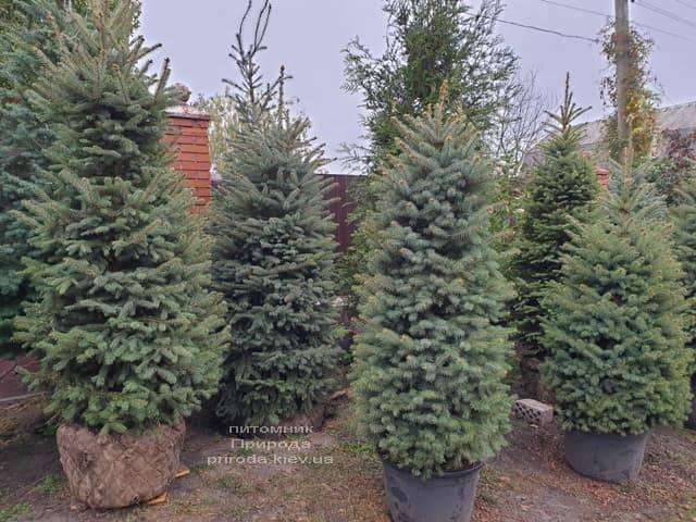 Ель колючая Глаука (Picea pungens Glauca) ФОТО Питомник растений Природа (24)