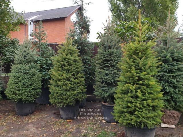 Ель колючая Глаука (Picea pungens Glauca) ФОТО Питомник растений Природа (25)