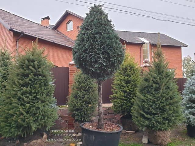 Ель колючая Глаука (Picea pungens Glauca) ФОТО Питомник растений Природа (27)