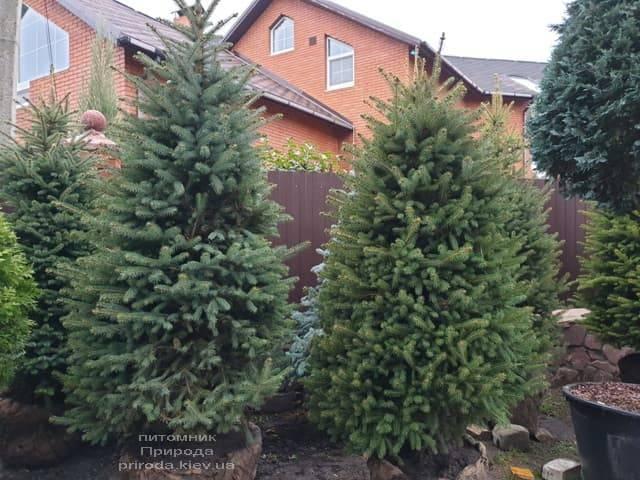 Ель колючая Глаука (Picea pungens Glauca) ФОТО Питомник растений Природа (28)