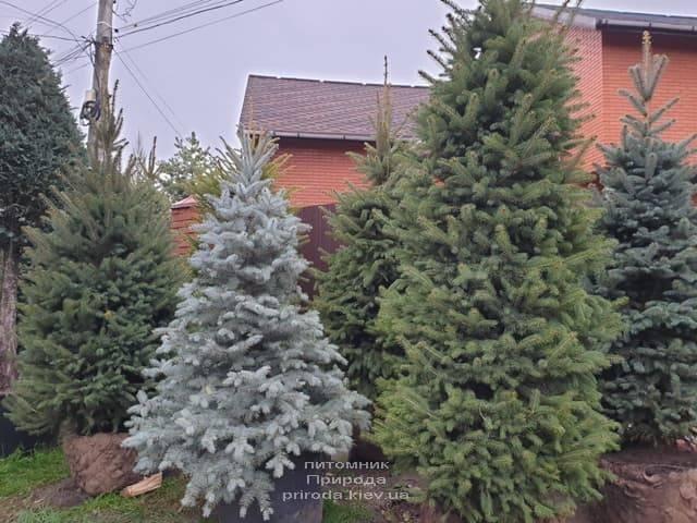 Ель колючая Глаука (Picea pungens Glauca) ФОТО Питомник растений Природа (29)