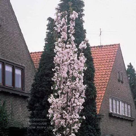 Сакура Аманогава (Вишня мелкопильчатая) (Prunus serrulata Amanogawa) ФОТО Питомник растений Природа (1)